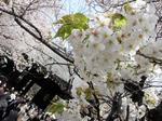 0406013靖国の桜.jpg
