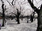 0406014靖国の桜.jpg