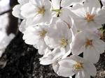 041001桜.jpg