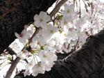 041002桜.jpg